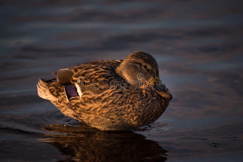 在日落的女性野鸭鸭子语录platyrhynchos 免版税库存照片