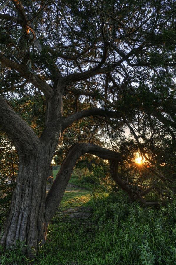 在日落的小橡树 库存照片