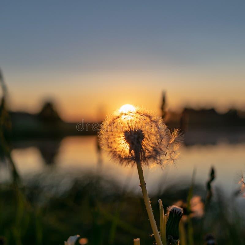 在日落的开花的蒲公英花 库存图片