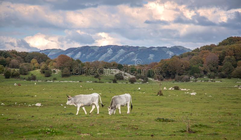在日落的意大利母牛在一个绿色大草原 库存图片