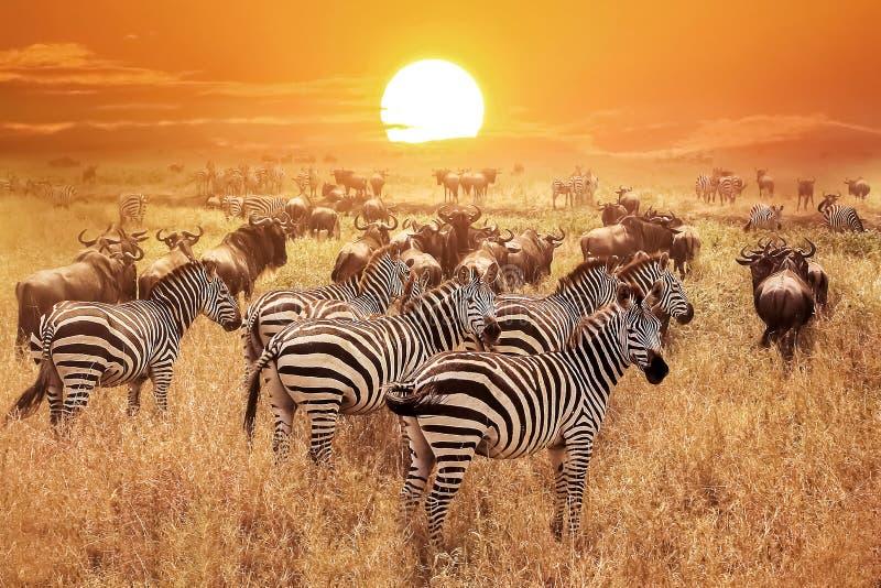 在日落的斑马在塞伦盖蒂国家公园 闹事 坦桑尼亚 库存照片