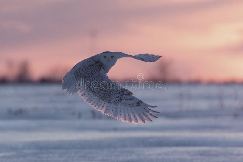在日落的斯诺伊猫头鹰 免版税库存图片