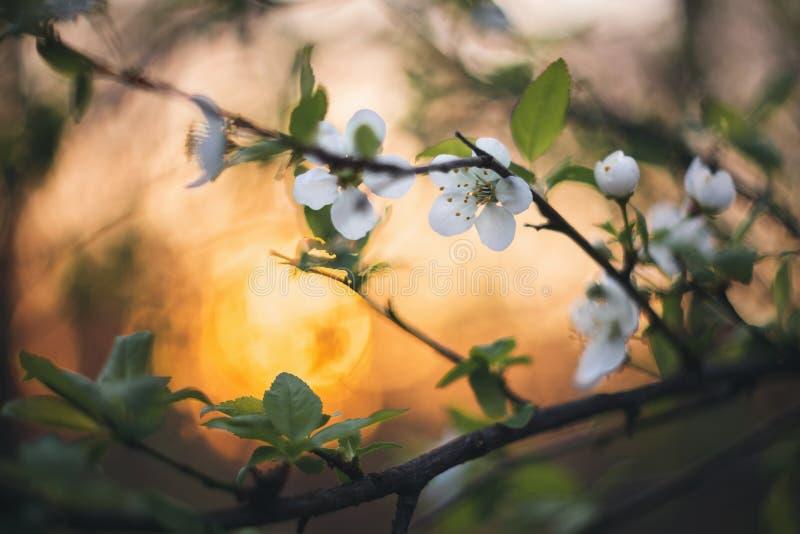 在日落的春天绽放 免版税库存照片
