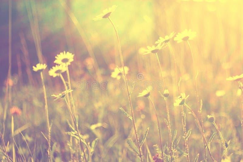 在日落的春黄菊 库存照片