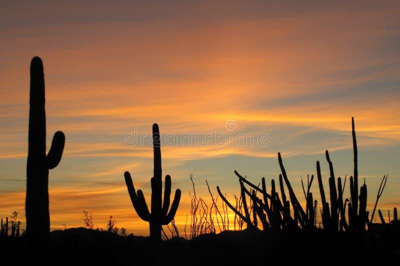 在日落的柱仙人掌、器官管和蜡烛木仙人掌在器官管仙人掌国家历史文物,亚利桑那,美国 库存图片