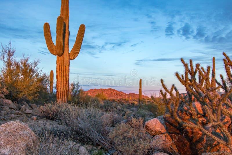在日落的柱仙人掌仙人掌在菲尼斯亚利桑那地区 库存照片