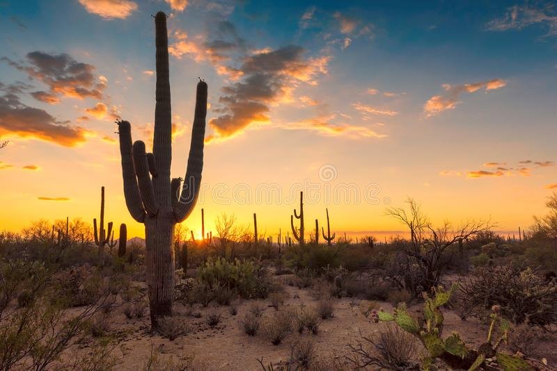 在日落的柱仙人掌仙人掌在Sonoran沙漠 库存图片