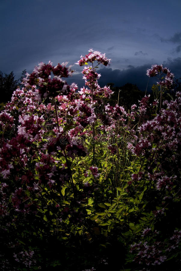 在日落的桃红色花 免版税库存照片