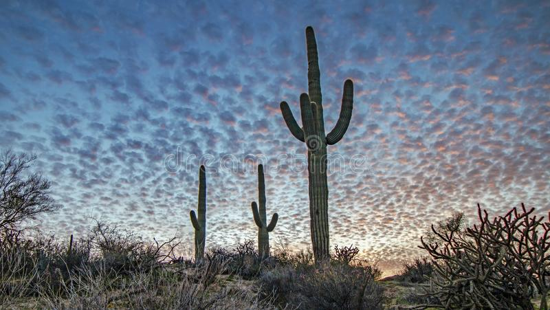 在日落的沙漠天空用柱仙人掌仙人掌 免版税库存照片