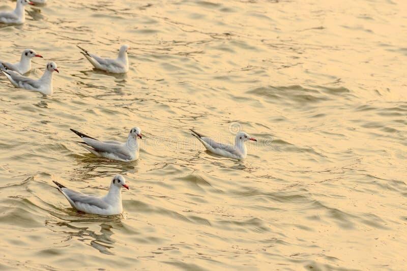 在日落的海鸥 免版税库存图片