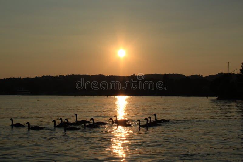 在日落的灰雁 免版税库存照片