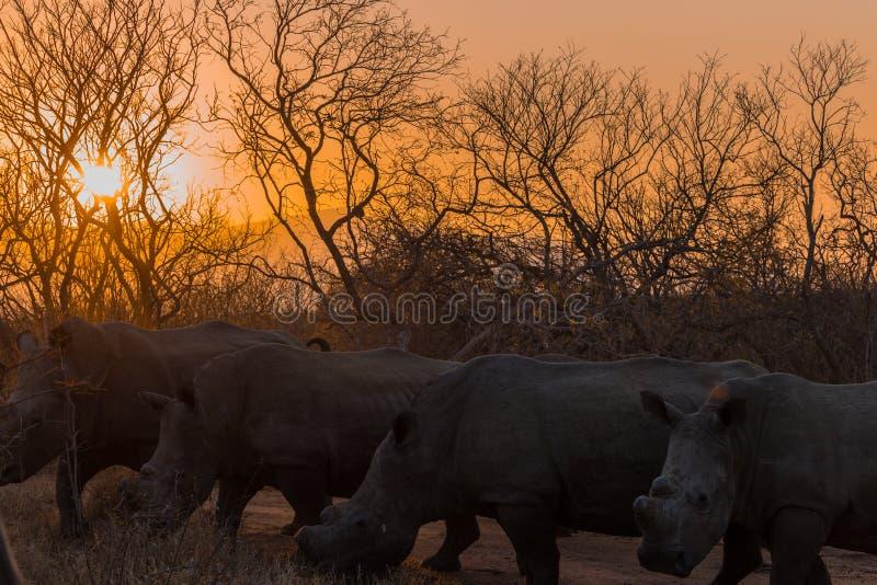 在日落的犀牛在一个徒步旅行队在南非 库存照片