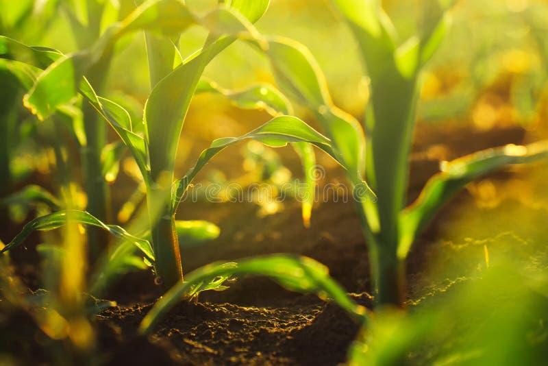 在日落的玉米庄稼 库存照片