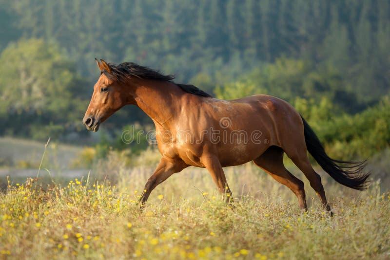 在日落的疾驰的栗子马任意在一个草甸在加利西亚西班牙 库存图片