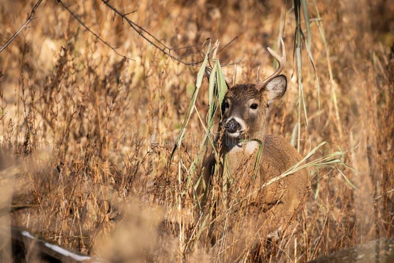 在日落的白尾鹿大型装配架 图库摄影