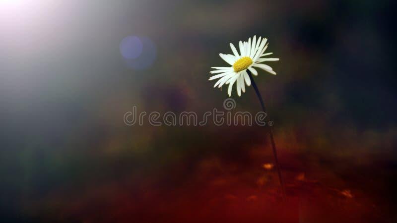 在日落的白色野花 免版税库存照片