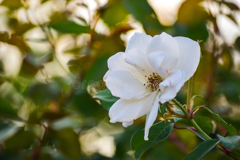 在日落的白花宏观特写镜头秀丽绽放瓣花卉画象户外自然风景背景在公园 免版税库存图片