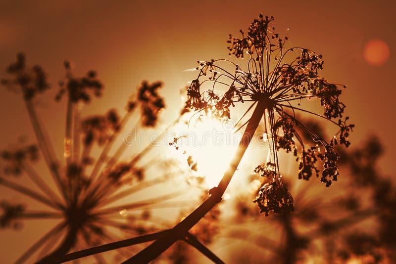 在日落的秋天干燥母牛石南木 免版税图库摄影