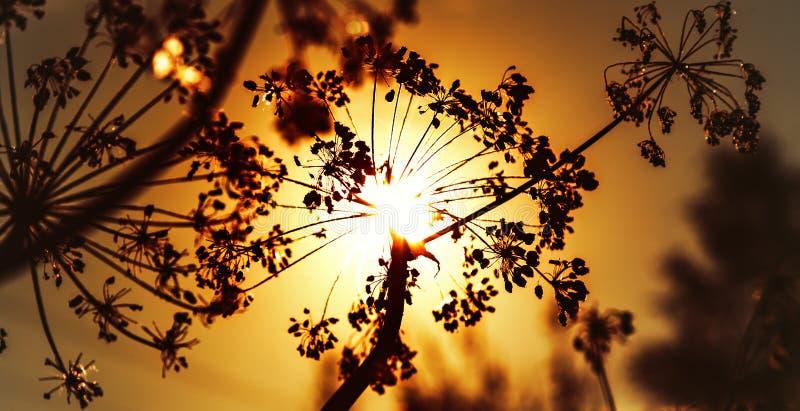 在日落的秋天干燥母牛石南木 免版税库存图片