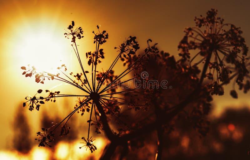 在日落的秋天干燥母牛石南木 库存照片