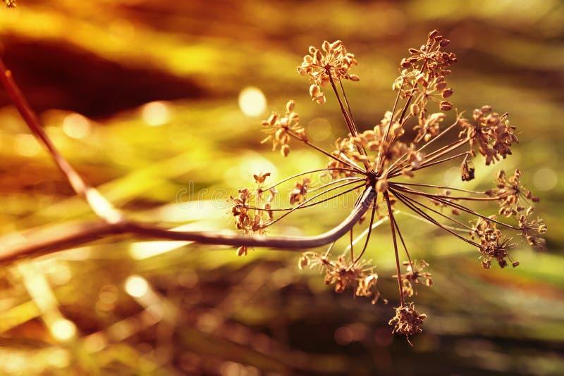 在日落的秋天干燥母牛石南木 库存图片