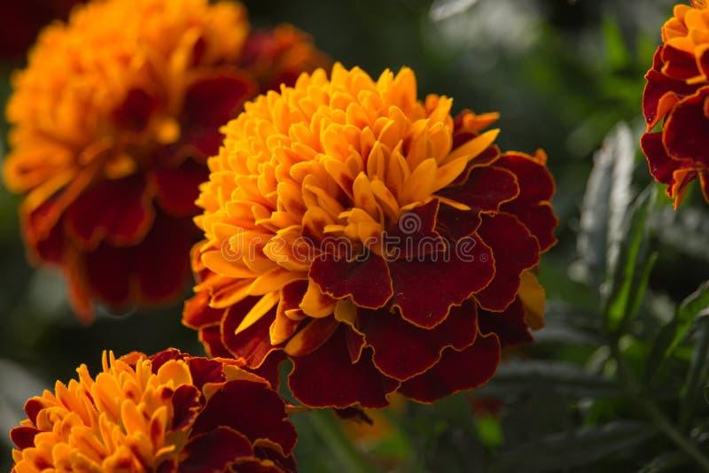 在日落的红色和橙色万寿菊花 库存图片