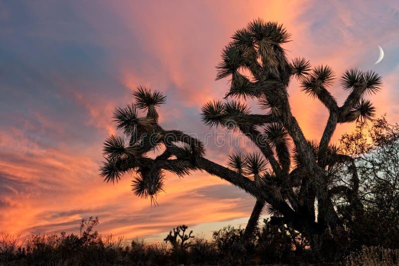 在日落的约书亚树 库存图片