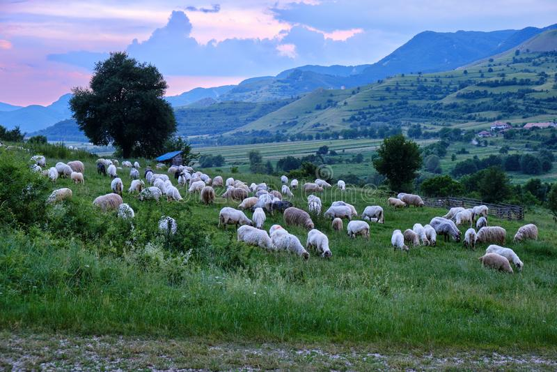 在日落的绵羊群,在Rimetea村庄上被归档的草,在特兰西瓦尼亚,罗马尼亚 免版税库存照片