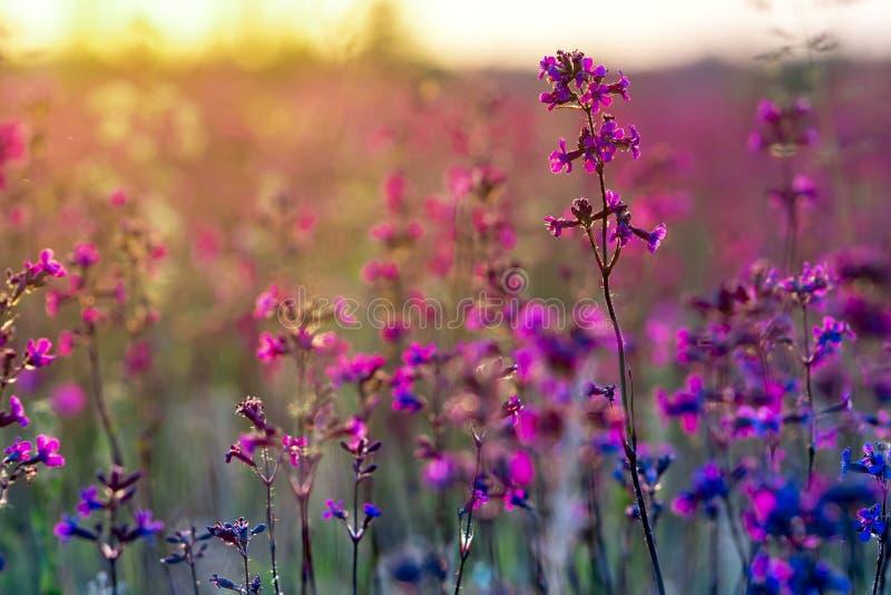 在日落的美丽的红色和蓝色野花 免版税库存照片