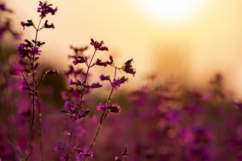 在日落的美丽的红色和蓝色野花 免版税库存图片