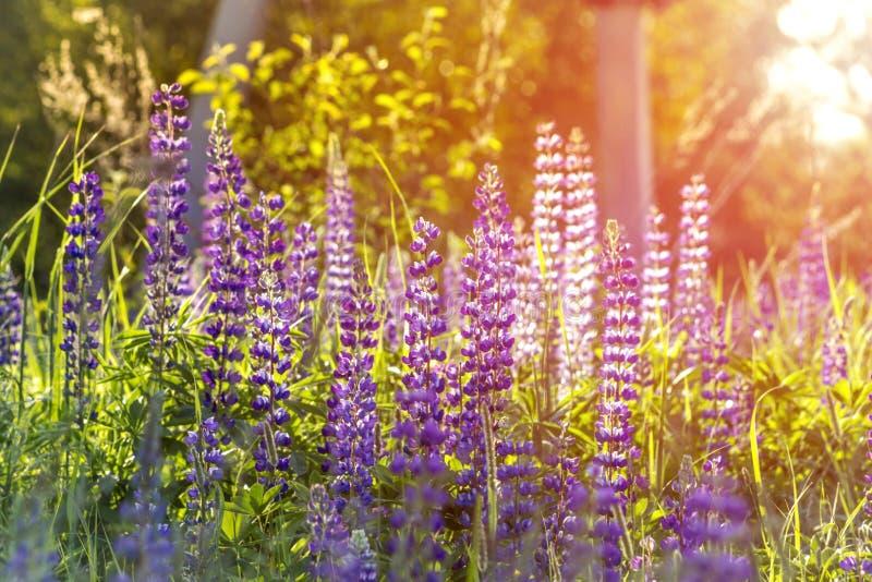 在日落的美丽的羽扇豆在太阳的背后照明 夏天农村横向 库存照片