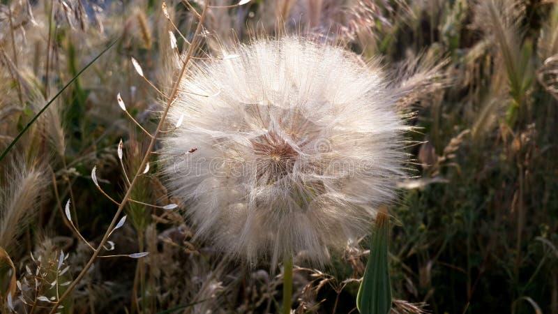 在日落的蒲公英花在草背景 特写镜头 免版税库存图片