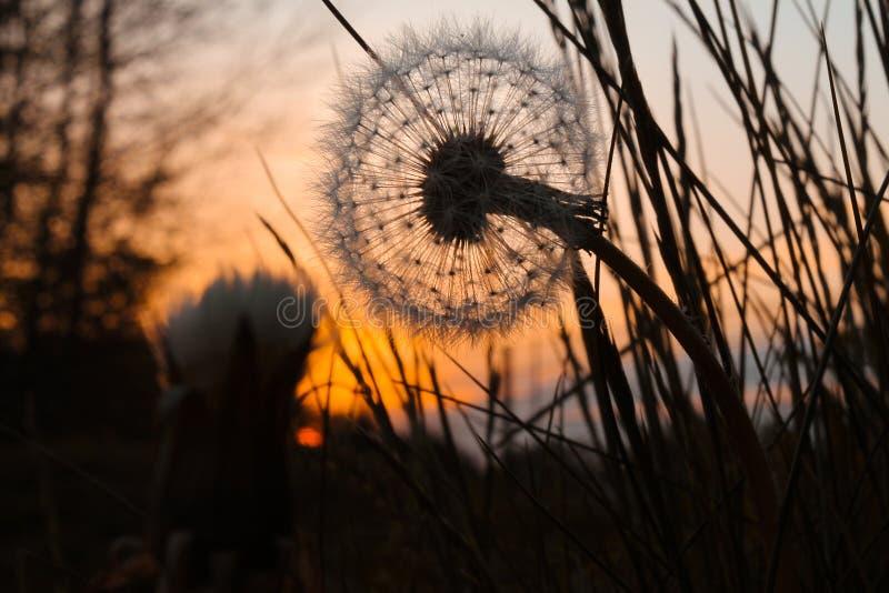 在日落的蒲公英 免版税图库摄影