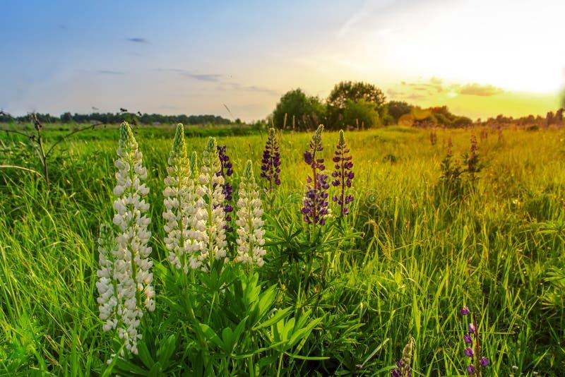 在日落的蓝色和白羽扇豆花 ?? 库存照片