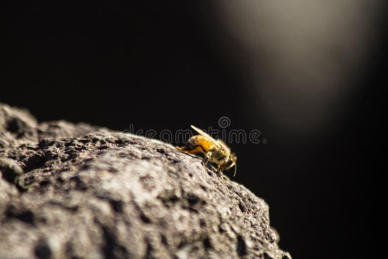 在日落的蜂蜜蜂 免版税库存图片