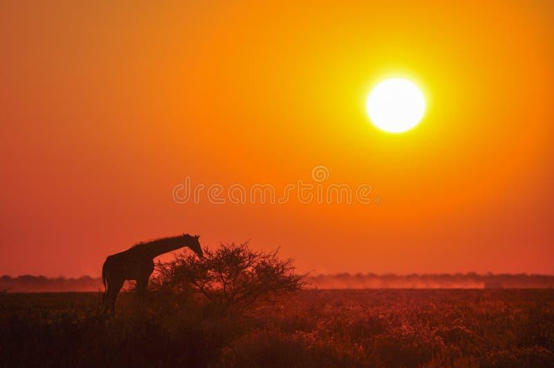 在日落的野生长颈鹿在非洲大草原 免版税库存图片