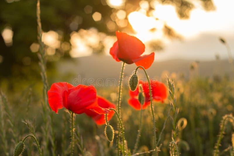 Download 在日落的野生鸦片 库存图片. 图片 包括有 beauvoir, 庭院, 新鲜, 颜色, 季节, 五颜六色 - 72365939