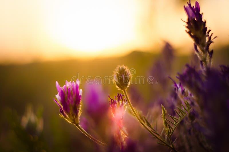在日落的野花 免版税库存照片