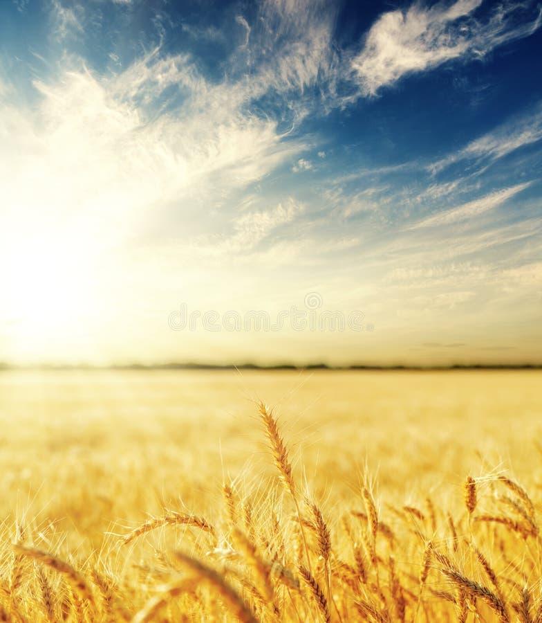 在日落的金黄颜色农业领域 黄色麦子耳朵和云彩在深蓝天空与太阳 库存照片