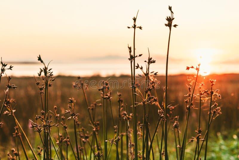 在日落的金黄干草 库存照片