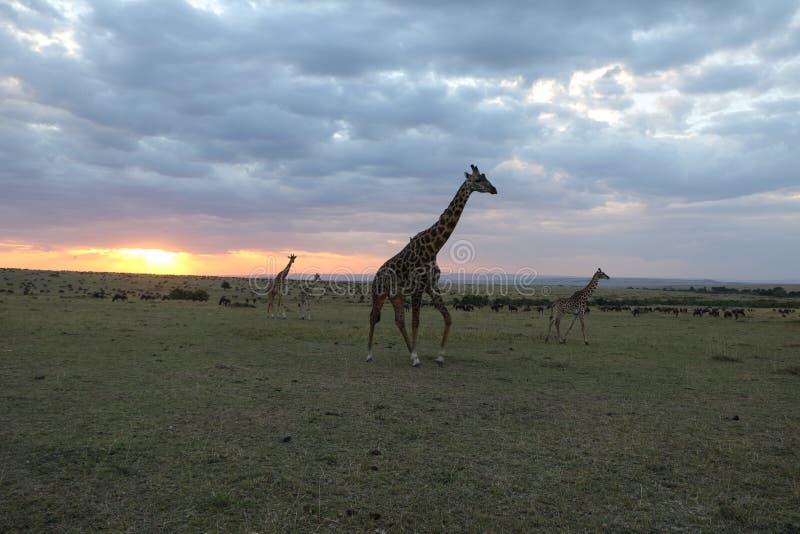 在日落的长颈鹿在狂放的maasai玛拉 库存照片