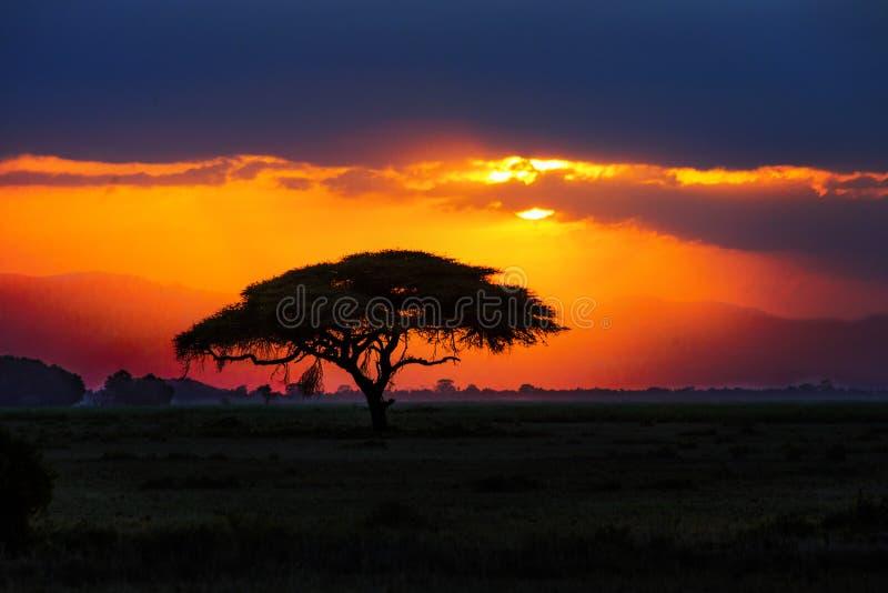 在日落的非洲树剪影在大草原,非洲,肯尼亚 免版税库存照片