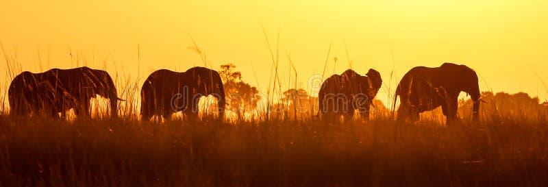 在日落的非洲狂放的大象在Chobe 免版税库存照片