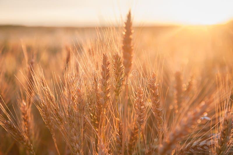 在日落的领域成熟的麦子 一个富有的收获的概念 库存图片