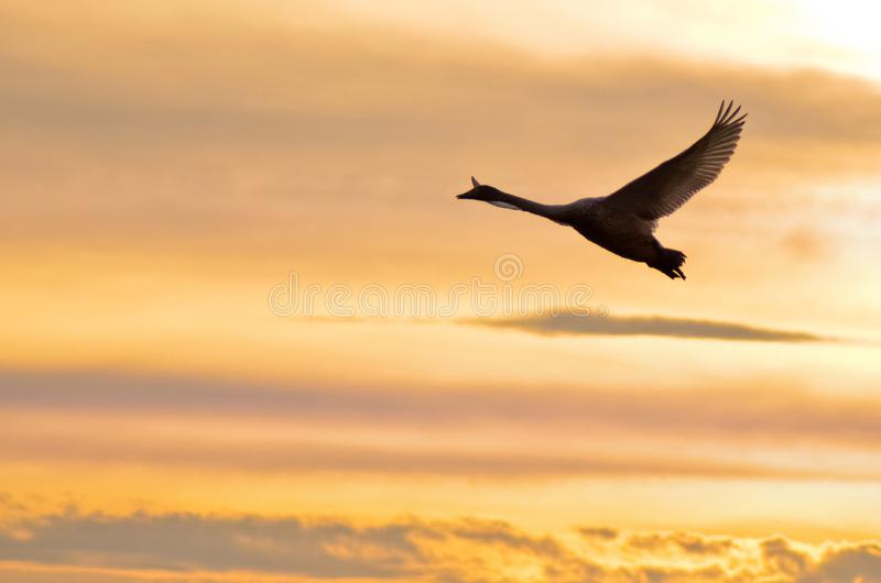 在日落的飞行的天鹅 免版税库存图片