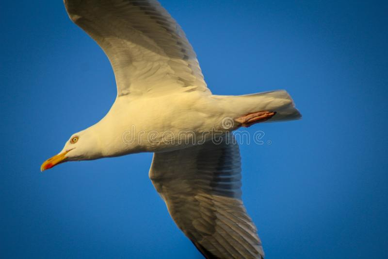 在日落的飞行的海鸥 免版税库存照片