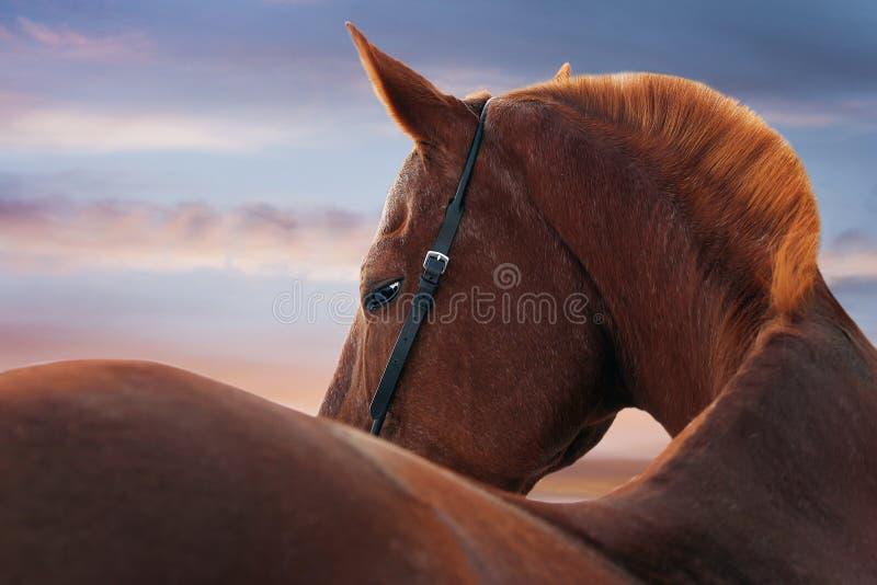 在日落的马纵向 库存图片