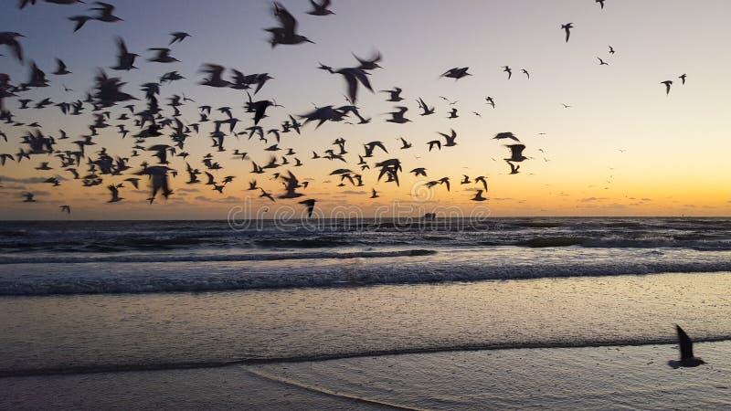 在日落的鸟在午睡钥匙海滩在萨拉索塔,佛罗里达 免版税库存图片
