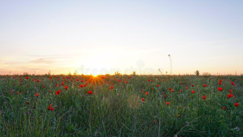 在日落的鸦片领域 与绿色词根,巨大的领域的红色花 明亮的太阳光芒 库存照片