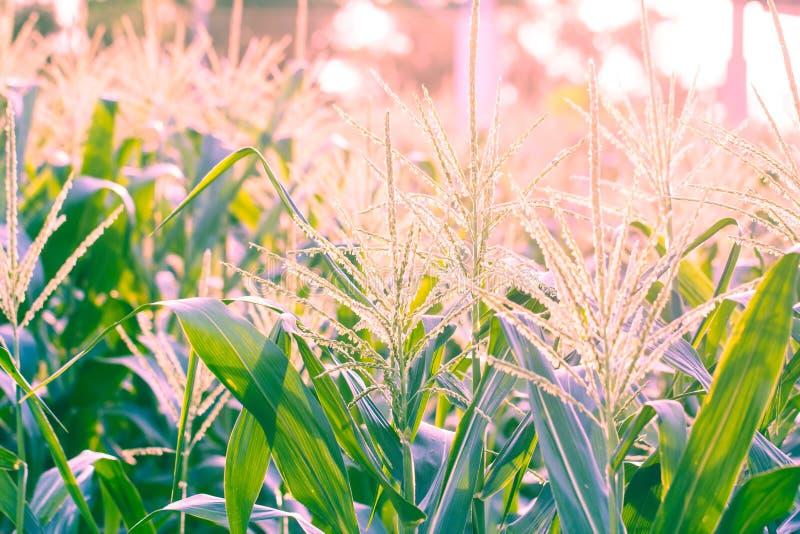 在日落的麦地 免版税图库摄影